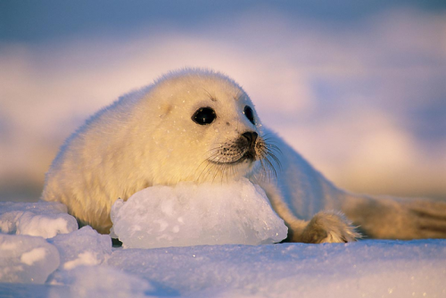 kingdomy:  A pup, about 12 days old, rests on a block of ice following a swim. (by: Brian Skerry)  Probably just before some asshole clubbed it to death.
