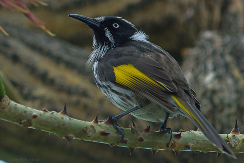 clusterpod:  New Holland Honeyeater, (Phylidonyris novaehollandiae)