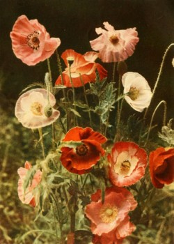 palemauve:  Poppies