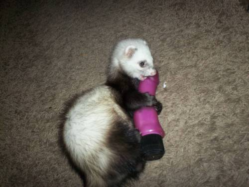 "saw this on reddit already, but yeah. here's some context. ""My ferret steals stuff and hides it and we  found her with this today."""