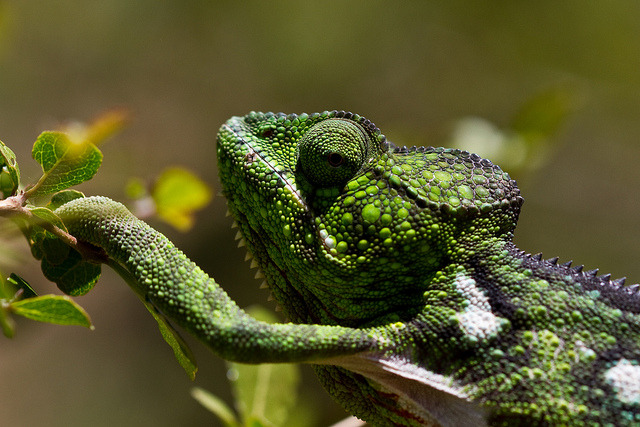 reptiglo:  Chameleon by Gareth Codd Photography on Flickr.