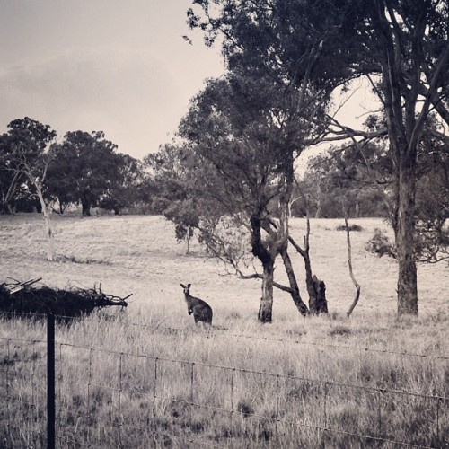 Kangaroo No.1 (Taken with Instagram)