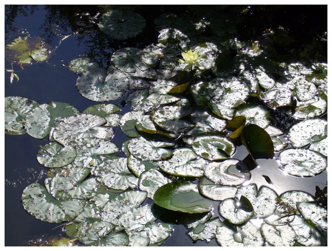 By yama-bato (once again…) ©yama-bato, Giverny,2011 Waterlillies (Monet's Garden)