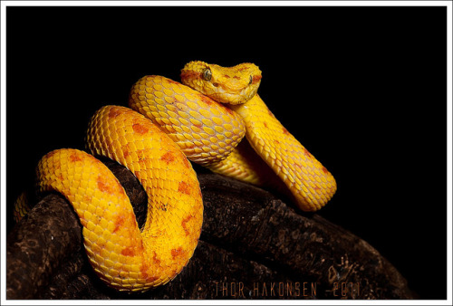 reptiglo:  Bothriechis schlegelii by Thor Hakonsen on Flickr.