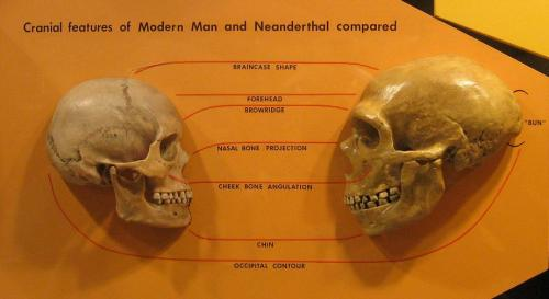 drkrislynn:  steelromanticism:  Modern human skull compared to Neanderthal  I think I've reblogged this a thousand times. But do I care? Nah