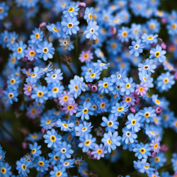 definitelydope:  Lots of tiny blue flowers (by Cat's Ear (John Johnston)More Research, Busy Again)