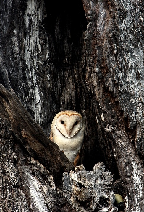 "earth-song:  ""Barn Owl in Ebony"" by Marius Coetzee"