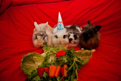 dailybunny:  Bunny's Birthday Party Is a Success! Happy Bunday! Thanks, Shijia!