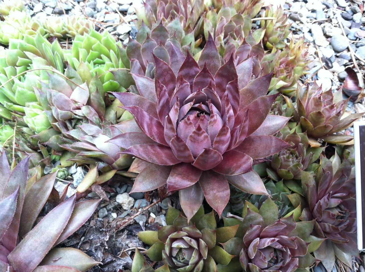 Sempervivum 'Rubrum Ash,' commonly referred to as a member of the 'hens and chicks' group. A member of the Crassulaceae family, which grow in rosettes.