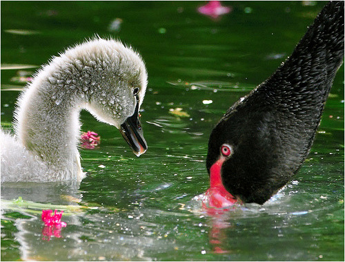 funkysafari:  Black Swan, taken at Wuling Farm, Taichung County, TAIWANby John&Fish