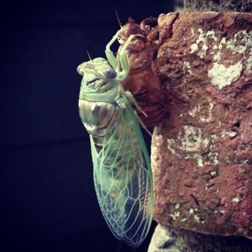Emerged. #Cicada ~ These guys are everywhere & their song is my #TX summer soundtrack. Back in Brooklyn, their song was melancholy because it signaled the end of #summer. Here it's just getting started! ~ #insects #cicadinae #BrooklynInAustin #brooklyn #atx  (Taken with Instagram)