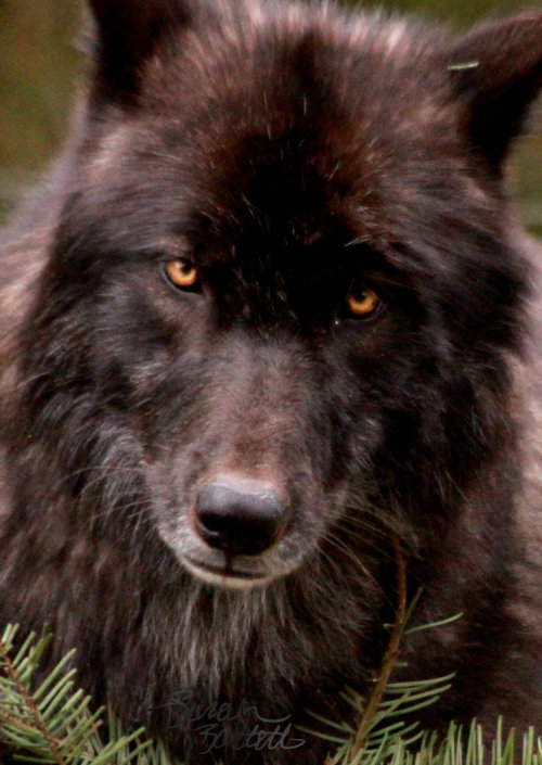 animalgazing:  Black Wolf's Stareby ~NaturePunk Though he has a silvered muzzle and light chin, he is actually still under two years of age. Many black wolves turn completely silver as they grow older.