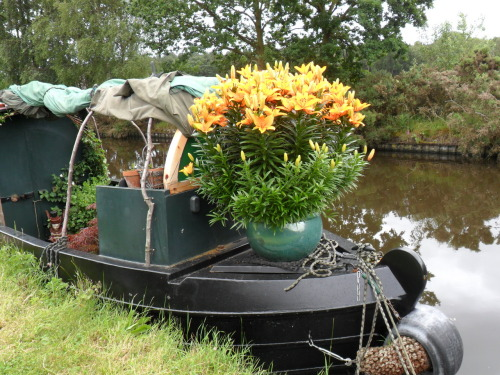 Living on the canal - massive tub of orange Lilies. The Staffordshire and Worcester Canal , Gailey.