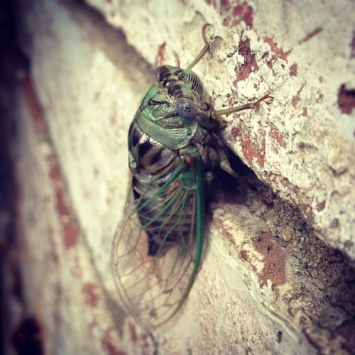 My little friend 3 hours after emergence. #cicada #cicadinae #insects #dope  (Taken with Instagram)