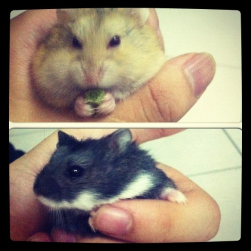 AhBlack & AhBrown 😁 #cute #hamster (Taken with Instagram)
