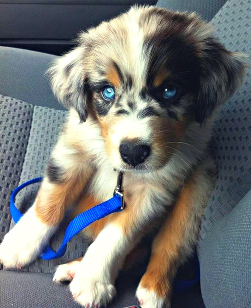 homorobotica:  theycansubside:  lacethekiddo:  Golden Retriever/Siberian Husky mix  omfg  Uh, that is very obviously an australian shepherd.
