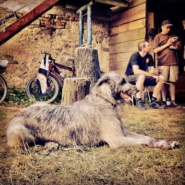 irish wolfhound in czech farm yard (Taken with Instagram)