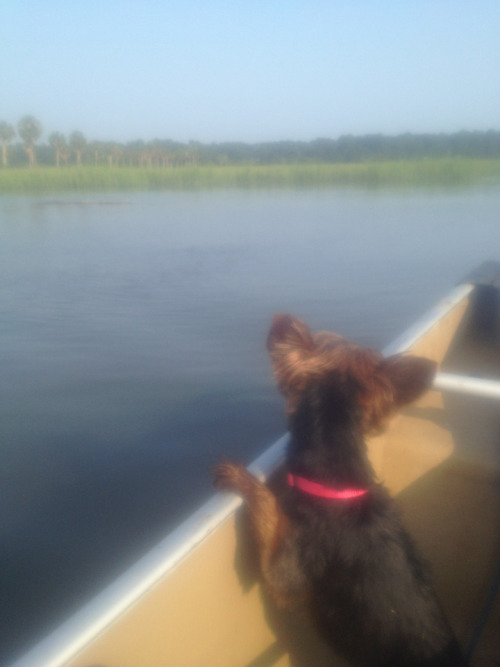 We took franke on a canoe ride to calm her down because she had 2 seizures today. Clearly a bad idea. On the canoe, she had a panic attack. Voodoo karma for all the time she's bitten people, or some shit. After cradling her for an hour, even though she has fleas, she's back to her old self, rolling in crab shells, and threatening to jump back into the water.