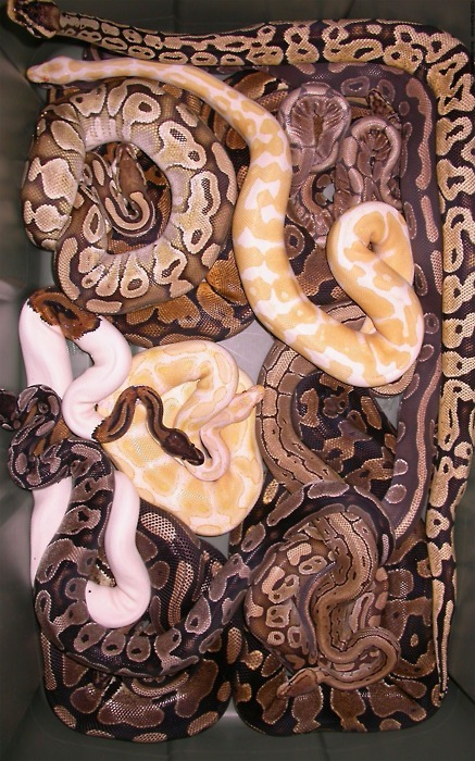cloud9highh:  Pythons :)