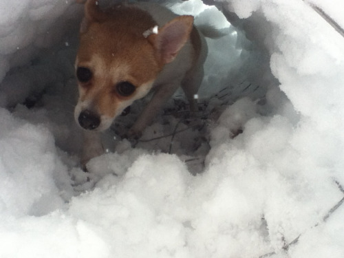 My dog in a snow tunnel this winter