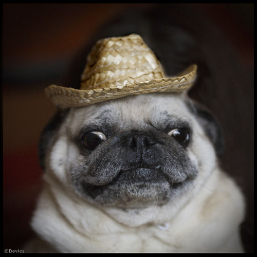Snowball by sally davies photo on Flickr.pug wearing a little hat