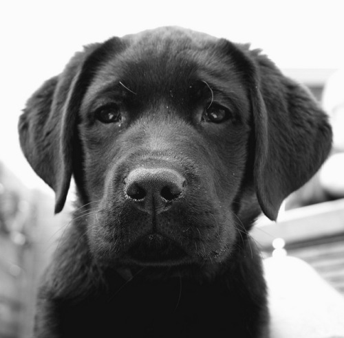Labrador Pup by BastianZ on Flickr.