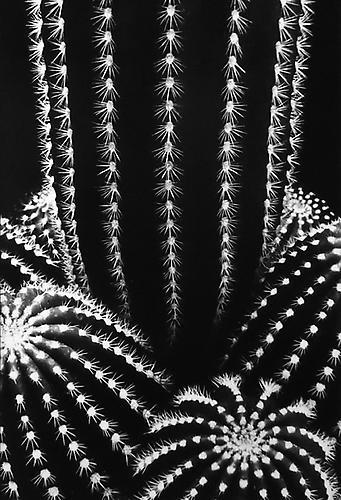 Don Worth Cactus: Trichocereus Schickendantzil, San Jose, California 1976