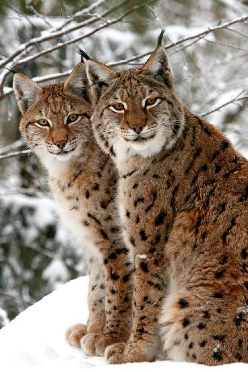 Lynx brothers. By:PictureGirl