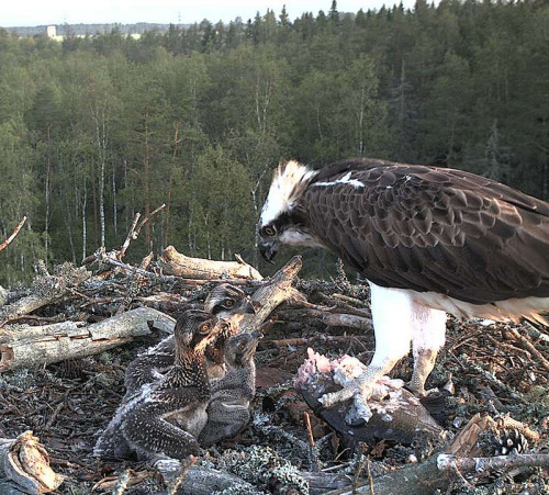 Three Chicks, their Mum and a Fish (4:55 July 2)