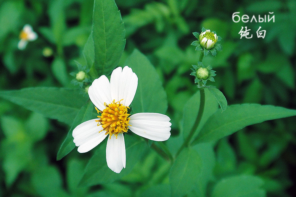 little white flower in a park ——纯白белый