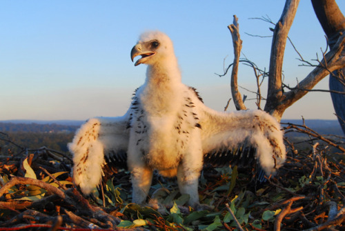A five-week-old baby wedge-tailed eagle. 'Wedgies' pair off for life; the male and female both incubate the eggs but Dad does all the hunting once the chicks hatch.  Photo Credit: Simon Cherriman