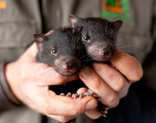 Tasmanian devil (Sarcophilus harrisii) babies. Mothers carry the babies for 21 days, giving birth to up to 40 young - which are about the size of a grain of rice. Only the strongest four make it to suckle the four teats in the pouch.  Photo Credit: Andrew Gregory