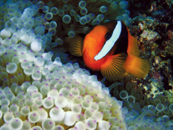 A newfound ability of reef fish to adapt to shifting conditions over the course of two generations indicates they might be less vulnerable to climate change than previous research has suggested. In a new study, young anemonefish (Amphiprion melanopus) exposed to elevated carbon dioxide levels and warmer water grew slowly, needed extra energy to perform normal bodily functions and died at higher rates. But they showed no adverse impacts if their parents had lived under the same conditions prior to breeding. Recent research shows that young fish are particularly vulnerable to the decreases in water pH that are expected to occur over the next century as elevated CO2 levels change the chemistry of the oceans . Zoologist Gabrielle Miller and her colleagues at James Cook University in Townsend, Australia, wanted to know what might happen if parents as well as hatchlings were exposed to such conditions. Read More