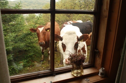 thefarmersdaughter:  royy-isnt-a-boyy:  cows are cuteeeeee.(:  (via imgTumble)