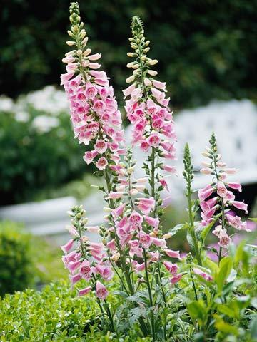 source: BHG ~ I love foxglove