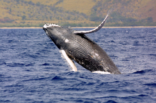 Send a message to protect whales.The Navy estimates that its five-year plan to train with sonar and explosives in the Atlantic, Pacific and Gulf of Mexico will harass, injure or kill marine mammals more than 33 million times. Read more about this issue. TAKE ACTION: Send a message urging the Navy to put tough safeguards in place before unleashing this assault on vulnerable marine wildlife. Photo: NOAA