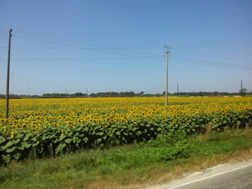 a field of sunflowers, outside florence, italy
