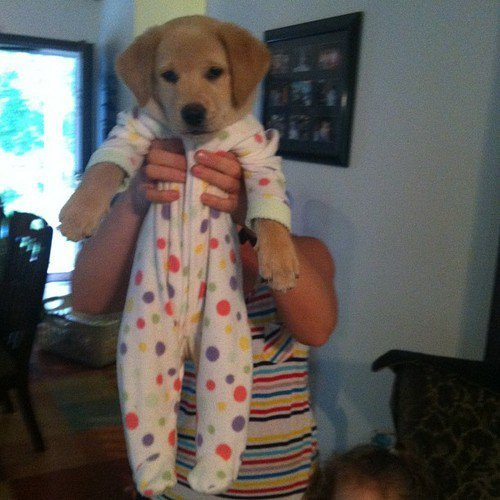 collegehumor:  My Dog Wears Pajamas Cuter than a Llama in pajamas.