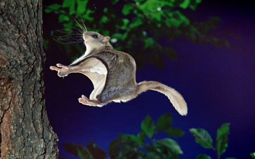 A southern flying squirrel is captured in mid-air as it about to land on a tree trunk. This tiny squirrel regularly makes 150-foot leaps through the trees. The nocturnal animal was caught on camera by British photographer Kim Taylor making its nighttime jumps at his own studio called Warren Photographic, in Guildford, Surrey.  Picture: WARREN PHOTOGRAPHIC / CATERS NEWS