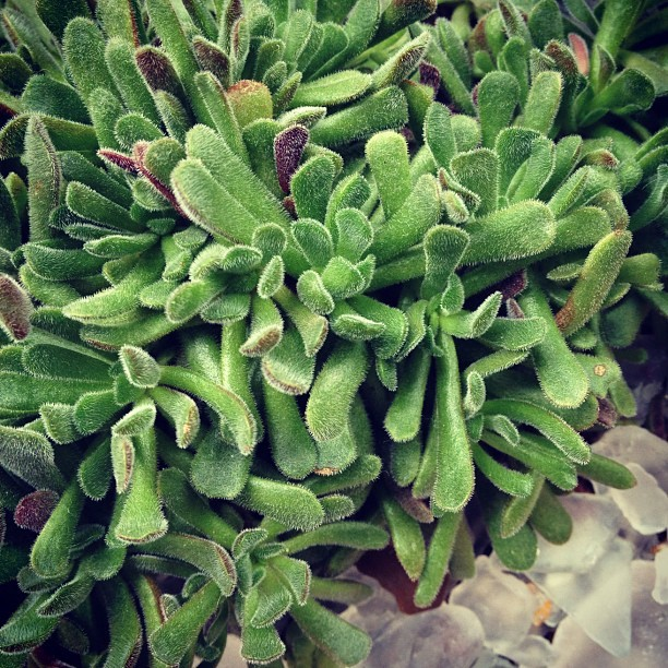 Crassula pubescens #plantmadness (Taken with Instagram)