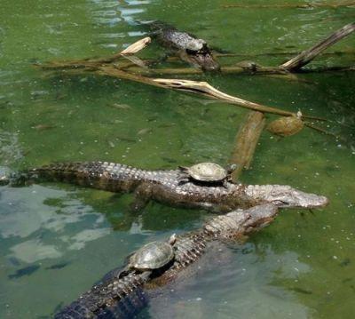 "corgisandboobs:  thesuperjew:  The turtle cavalry is serious shit  ""Onward, alligator steed!""""I'm a crocodile.""""Silence, water horse!"""