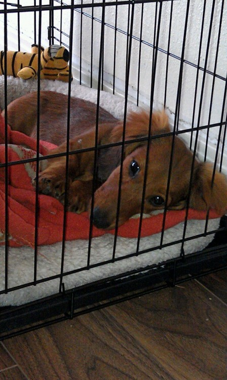 After a vet appointment, puppy was so upset he threw himself into his bed and watched us all with betrayal in his eyes.