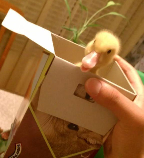 thefluffingtonpost:  PHOTO OP: Duck In a Box Via Statusliver.