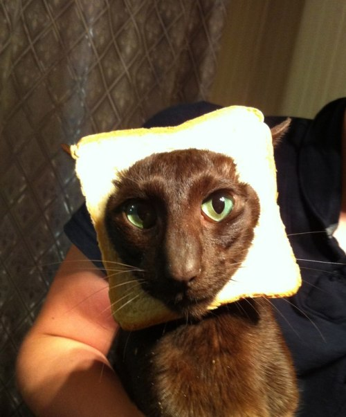 Oriental breed cat bread.