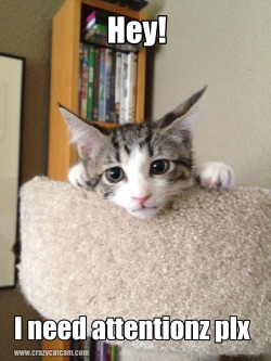 Isles on the cat tower @ 10wks old. She also needs a forever home… @thecrazycatcamFacebook.com/crazycatcam