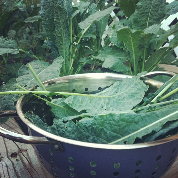 Harvesting soft kale from the Fresh Nation garden (Taken with Instagram)