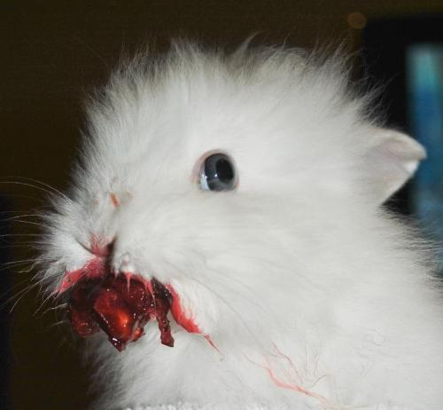 queen0fcups:  pestronsluderp:  when you give a rabbit a cherry  SOMEBODY GET ME THE HOLY HAND GRENADE