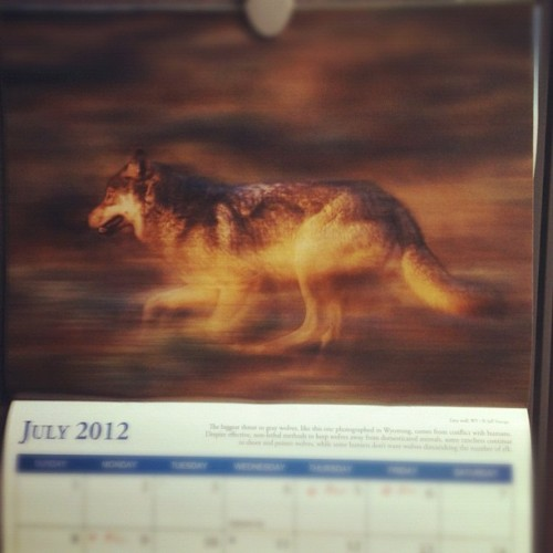 This month my Defenders of Wildlife calendar magically whisks me away to Wyoming where this grey wolf is running like he stole something.  (Taken with Instagram)