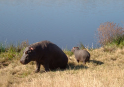 The most dangerous animal in Africa; a hippo with her baby. I took this on a safari in South Africa last summer.