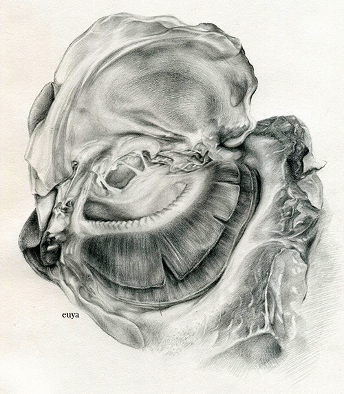 euya:  graphite on canson sketch a long time; self inflicted study/exercise 2010 tilapia gills